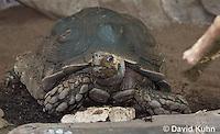 0218-1106  Asian Forest Tortoise (Burmese Black Tortoise), Found Northeast Taiwan to India, Manouria emys phayrei  © David Kuhn/Dwight Kuhn Photography