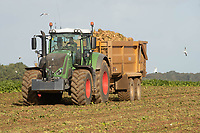 15-10-2021 Contractors lifting sugar beet in North Norfolk <br />  ©Tim Scrivener Photographer 07850 303986<br />      ....Covering Agriculture In The UK....
