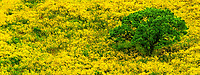 906500012 panorama - view of a massive display of flowering wild mustard brassica tournefortii creates a brilliant yellow frame around a lone coasta; oak quercus agrifolia along the central coast in california