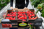 Foto: VidiPhoto<br /> <br /> ZALTBOMMEL – Een Tjechische medewerkster van teler Kees van Tuijl uit Zaltbommel oogst dinsdag Kwanza frambozen. De oogst van frambozen uit onbelichte kassen komt nu op gang. Van Tuijl heeft 3,5 ha. frambozen onder glas en 2,8 ha. rode paprika's. De vraag naar het gezonden en vitiminerijke zachtfruit, zoals frambozen, is dankzij de coronacrisis groot. De prijzen zijn daarom ook goed. Tot 1 juli plukt Van Tuijl frambozen uit de kas, daarna begint bij veel zachtfruittelers de oogst buiten. De teler uit Zaltbommel begint pas weer in september met de herfstoogst onder glas.