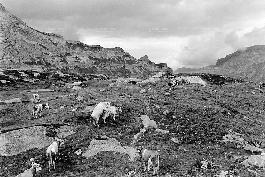Switzerland. Canton Bern. Lauterbrunnen valley. Oberhorn alp (2200 meters high). Simmental Cattle. Season spent by cows in mountains pastures. Swiss alpine farmers. Alps mountains peasants.  © 1993 Didier Ruef