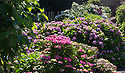 """20/06/16<br /> <br /> Alison Grimwood pruning. <br /> <br /> Tucked away in a hidden walled garden of an inner-city public park, the UK's largest hydrangea collection is putting on its best display ever, following the sudden heatwave after several months of rain.<br /> <br /> Full story:  <br /> <br /> https://fstoppressblog.wordpress.com/britains_biggest_hydrangea_garden/<br /> <br /> .And what used to be a flower traditionally associated with """"granny's cottage garden"""" is blooming back into fashion thanks to the rising trend for all things shabby chic and retro-styled.<br /> <br /> There are more than 600 individual hydrangea bushes with a dozen or so different varieties, planted in Derby's Darley Abbey park, formerly part of an estate belonging to the nearby cotton mills.<br /> <br /> All Rights Reserved, F Stop Press Ltd. +44 (0)1773 550665"""