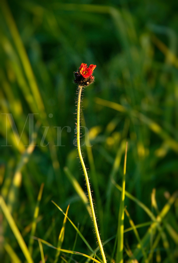 Single poppy bud.