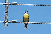 Great kiskadee, Pitangus sulphuratus, on a utility wire in Orotina, Costa Rica
