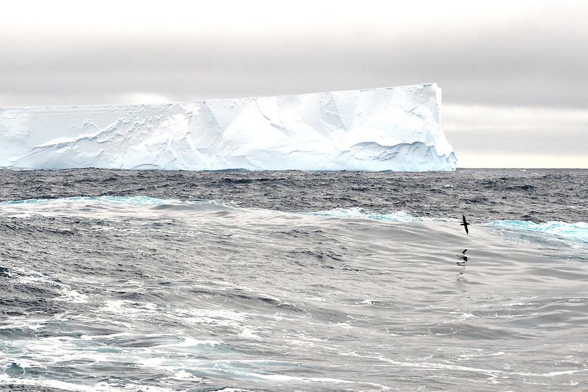 Solo Flyer - A lone sea bird patrols the Great Southern Ocean
