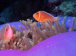 Pink Anemone fish, Palau 2018