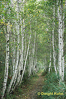 MT02-015c  Forest - path, white birch, Acadia National Park, Maine