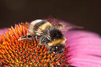 Helle Erdhummel, Weißschwanz-Erdhummel, Weißschwanz Erdhummel, Bombus lucorum, Blütenbestäubung, Nektarsuche, Blütenbesuch an Sonnenhut, Echinacea, white-tailed bumble bee
