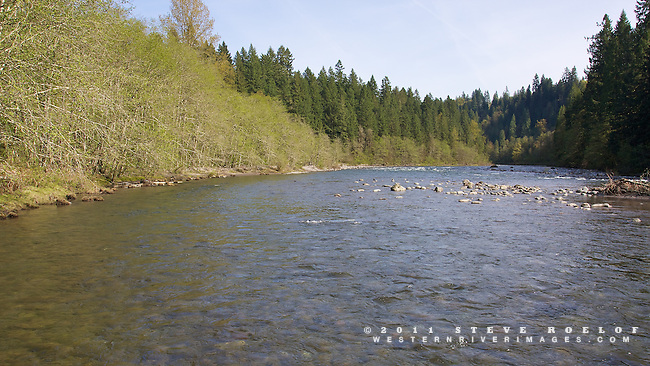 Red alder, with their lime green spring leaves, line the bank of the Sandy River, Oregon.