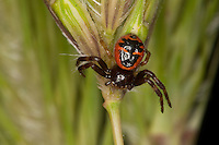 Südliche Glanzkrabbenspinne, Glanz-Krabbenspinne, Krabbenspinne, Synema globosum, Synaema globosum, crab spider, Thomisidae