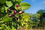 Waterberry fruit (Syzygium cordatum), a major food source for the massive aggregations of straw-coloured fruit bats (Eidolon helvum). Kasanka National park, Zambia.