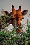 A giraffe eats the leaves off a thorny acacia tree in Etosha National Park, Namibia.
