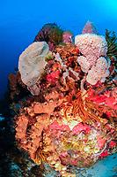 Typical coral and sponges reef, golden crinoid, Davidaster rubiginosa, red-orange encrusting sponge, Diplastrella megastellata, Brown tube sponge, Agleas conifera, azure vase sponge, Callyspongia plicifera, Martinique, French Island, Caribbean Sea, Atlantic