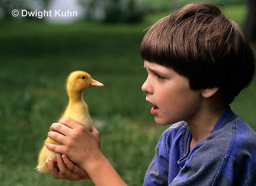 DG12-013x  Pekin duck - ten day old duckling
