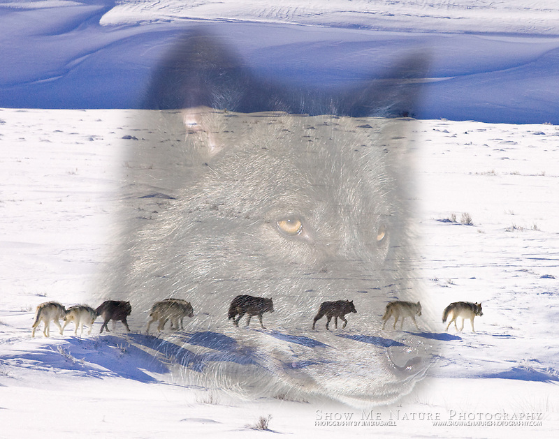 Composite image of a single, black wolf looking over the Yellowstone NP's Druid pack.