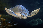 Kemps Ridley Sea Turtle, the most Endangered sea turtle on the planet swimming in the New England Aquarium Giant Ocean tank.  This animal came-in injured, and due to his injuries, cannot be released back into the ocean.