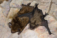 MA20-689z   Big Brown Bat mother and 4 week old young hanging from rock roost, Eptesicus fuscus