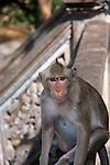 Temple Macaque at Phnom Sampon, Cambodia