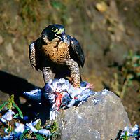 Wanderfalke, mit Beute, erbeuteter Taube, Haustaube, beim Kröpfen, Wander-Falke, Falke, Falken, Falco peregrinus, peregrine, peregrine falcon, Le Faucon pèlerin