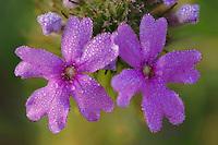 Prairie Verbena, Verbena bipinnatifida, blossom with morning dew, Uvalde County, Hill Country, Texas, USA