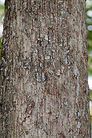Blackjack or Scrub Oak tree trunk bark Quercus marilandica