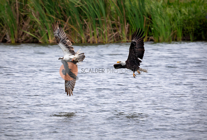 Bald Eagle chasing an Osprey with fish, both birds in flight