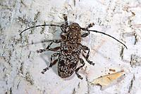 Keulenfüßiger Scheckenbock, Aegomorphus clavipes, Acanthoderes clavipes, Capricorn beetle