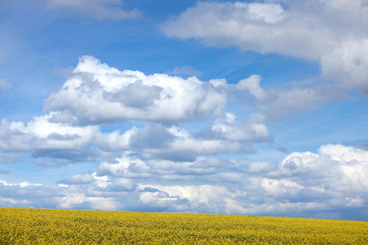 Europa, DEU, Deutschland, Nordrhein Westfalen, NRW, Rheinland, Niederrhein, Opherten, Jülicher Börde, Agrarlandschaft, Frühling, Raps, Rapsblüte, Himmel, Wolken, Cumuluswolken.  Kategorien und Themen, Landwirtschaft, Landwirtschaftlich, Agrar, Agrarwirtschaft, Erzeugung, Landwirtschaftliche Produkte, Natur, Naturfoto, Naturfotos, Naturfotografie, Naturphoto, Naturphotographie, Landschaft, Landschaften, Landschaftsfoto, Landschaftsfotografie, Landschaftsphoto, Landschaftsphotographie<br /> <br /> [Fuer die Nutzung gelten die jeweils gueltigen Allgemeinen Liefer-und Geschaeftsbedingungen. Nutzung nur gegen Verwendungsmeldung und Nachweis. Download der AGB unter http://www.image-box.com oder werden auf Anfrage zugesendet. Freigabe ist vorher erforderlich. Jede Nutzung des Fotos ist honorarpflichtig gemaess derzeit gueltiger MFM Liste - Kontakt, Uwe Schmid-Fotografie, Duisburg, Tel. (+49).2065.677997, archiv@image-box.com, www.image-box.com]