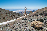 Grizzly bear cactus, Opuntia erinacea erinacea, and Bristlecone pine, Pinus longaeva, with a view of Death Valley from the Telescope Peak Trail in Death Valley National Park, California