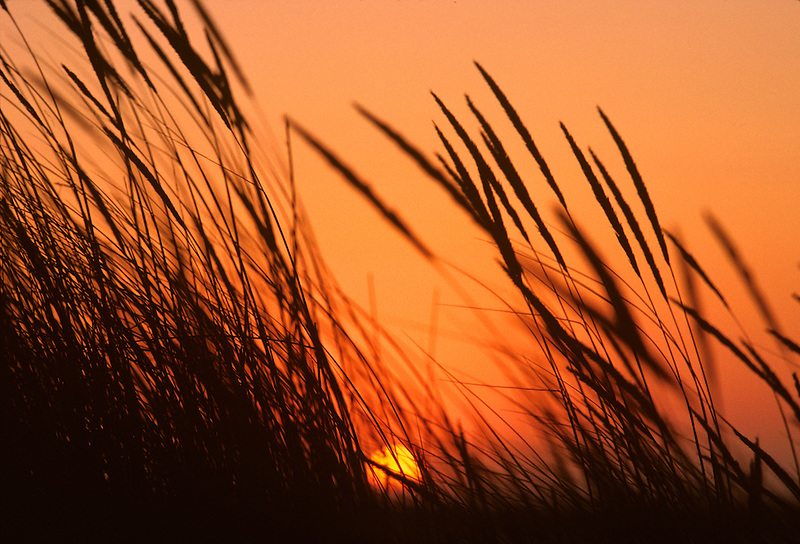 Sunset with dune grass. Florence, Oregon.