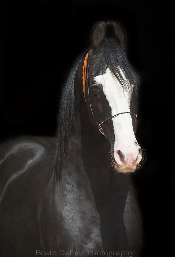 black Marwari stallion