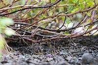 Thymian Wurzelbildung aus dem Stängel, Wurzel, Wurzeln, Feld-Thymian, Thymian, Wilder Thymian, Feldthymian, Quendel, Breitblättriger Thymian, Arznei-Thymian, Gemeiner Thymian, Gewöhnlicher Thymian, Quendel-Thymian, Arzneithymian, Thymus pulegioides, Thymus pulegioides ssp. pulegioides, Sammelart Thymus pulegioides, Thyme, Wild Thyme, broad-leaved thyme, lemon thyme, root, roots, Le thym faux pouliot, le thym à larges feuilles, le thym de bergère