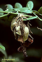 LE23-002a  Moth - bagworm hanging from tree, larva of moth with surrounding case