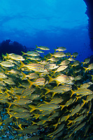 shoal of smallmouth grunt, Haemulon chrysargyreum, Fernando de Noronha National marine sanctuary, Pernambuco, Brazil, South Atlantic Ocean