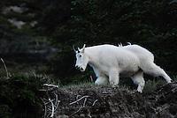 Mountain goats high in the cliffs in Jasper national Park Alberta Canada