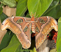 0403-08pp  Atlas moth, Attacus atlas, South Asia © David Kuhn/Dwight Kuhn Photography