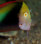 Green Razorfish face, Xyrichtys splendens