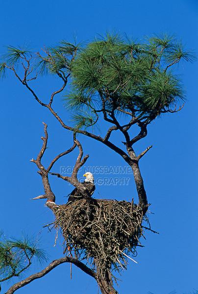 Bald Eagle, Haliaeetus leucocephalus, adult in nest on pine tree, Pine Island, Florida, USA