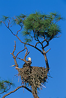 Bald Eagle, Haliaeetus leucocephalus, adult in nest on pine tree, Pine Island, Florida, USA
