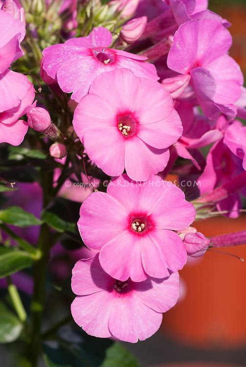 Phlox 'Volcano Ruby' pink with red eye