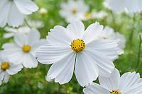 Cosmos bipinnatus 'Apollo White'