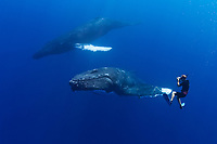 photographer and humpback whales, Megaptera novaeangliae, Hawaii, USA, Pacific Ocean