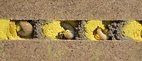 Rote Mauerbiene, Entwicklung, 6. etwa 4 Wochen alte Larve, Larven, Made, Maden in Brutkammer mit Pollen und Trennwand aus Lehm. Entwicklungsreihe Entwicklungsstadien, Brutröhre, Niströhre im Querschnitt, Brutkammer, Brutkammern, Rostrote Mauerbiene, Mauerbiene, Mauer-Biene, Nest, Neströhre, Niströhren, Wildbienen-Nisthilfe, Wildbienennisthilfe, Osmia bicornis, Osmia rufa, red mason bee, mason bee, L'osmie rousse, Mauerbienen, mason bees