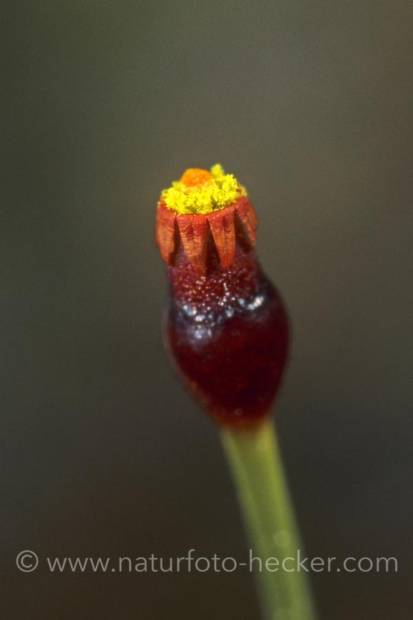Kugelfrüchtiges Schirmmoos, Splachnum sphaericum