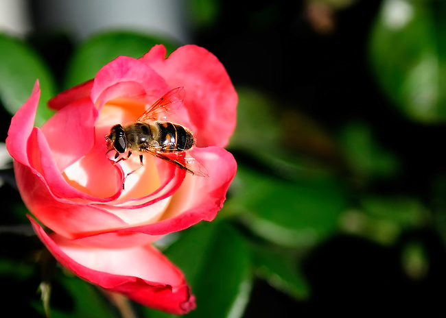 Red rose with a bee on it