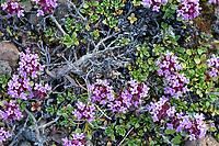 Frühblühender Thymian, Thymian, Thymus praecox, Thymus praecox subsp. arcticus, Thymus polytrichus subsp. britannicus, Thymus arcticus, mother of thyme, creeping thyme, wild thyme, thyme, Le Thym couché, le Thym précoce, Island, Iceland