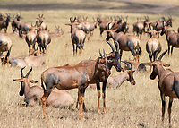 A herd of Topi, Damaliscus lunatus jimela, in Maasai Mara National Reserve, Kenya