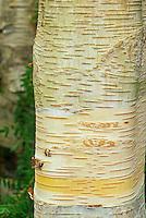 White bark birch tree (Betula utilis var. jacquemontii)