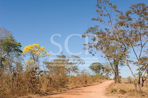 Nova Brasilandia, Mato Grosso, Brazil. Roadside Ipe Amarelo tree. Dirt road through Cerrado.