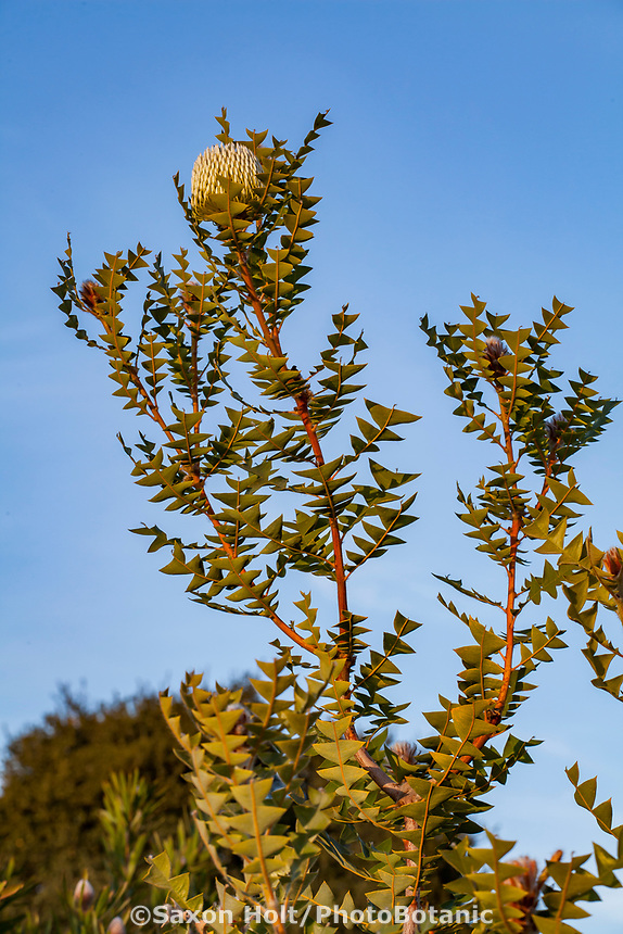 Banksia baxteri; Australian shrub flowering at Wild Ridge Organics